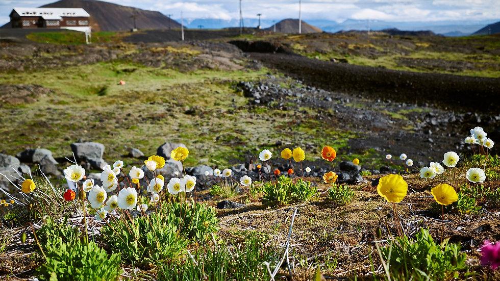 Iceland Flowers