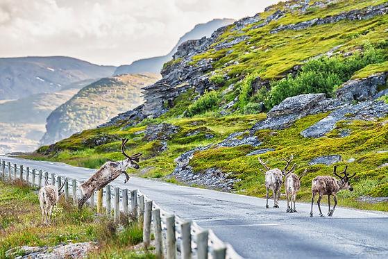 Severní norsko - sob a silnice