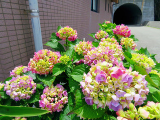 お花見情報~紫陽花~