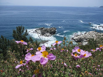 Cistusfeld an der Küste