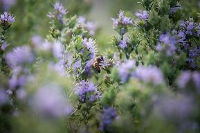 Blooming thyme Crete-min.jpg