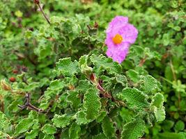 Cistus flower-min.jpg
