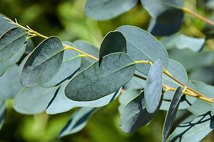 eukalyptus-blatt.jpg