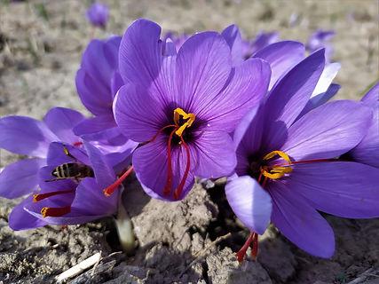 Safran-Blüte bei der Ernte.jpg
