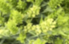 Griechischer Bergtee voll in Blüte