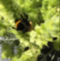 eine Erd-Hummel tut sich am griechischen Bergtee gütlich