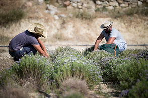 Thyme harvest-min.jpg