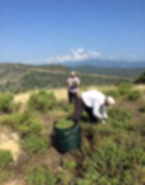 Erntehelfer in den Bergen bei der Zistrosen-Ernte