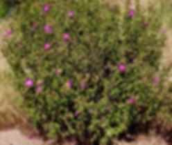 Zistrosen-Strauch mit vereinzelten Blüten