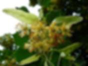 Abb._von_wikipedia_Blüten_der_Sommerlind