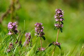 thymian-thymus-vulgaris Blüte.jpg