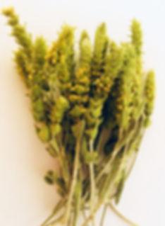 Griechischer Bergtee, Sideritis scardica ganze Pflanze getrocknet