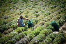 Thyme harvest Crete-min.jpg