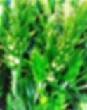 Sideritis scardica vor der Ernte