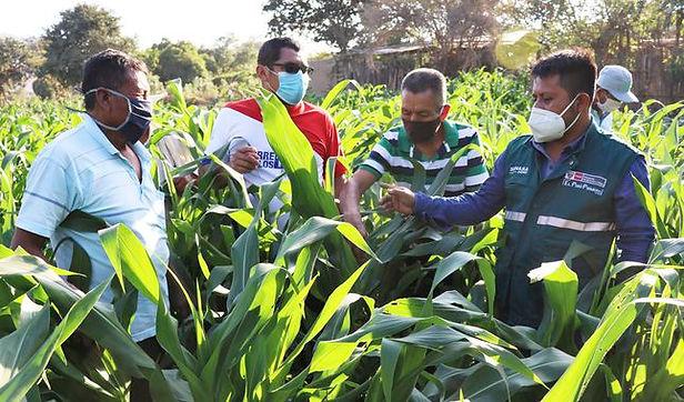 Agricultores de Lambayeque mejoran sus cultivos para salir de la crisis por la Covid-19