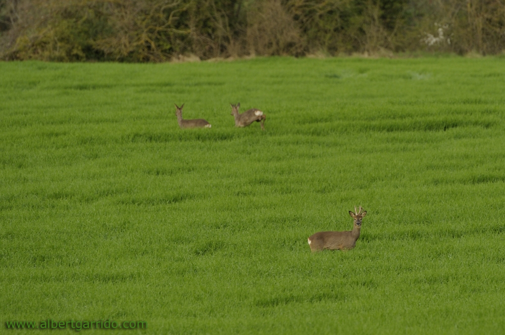 Three deer in a field near Vilada