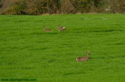 Drei Hirsche in einem Feld in der Nä