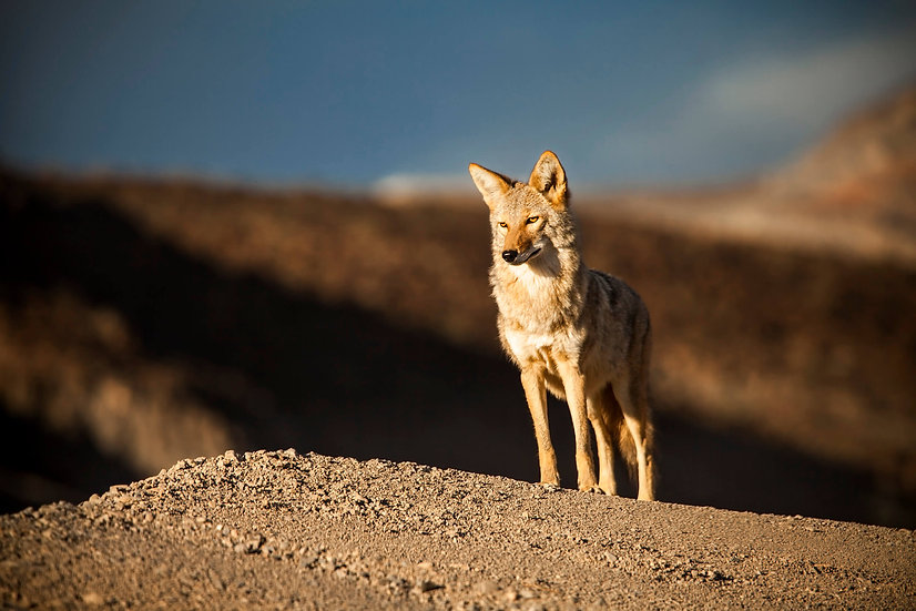 Coyote - LIMITED EDITION