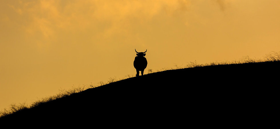 WP_Bull.jpg