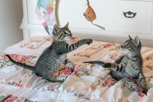 tabby-kittens-on-floral-comforter-160755