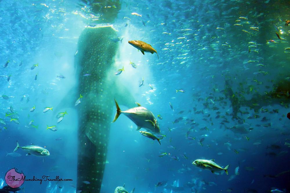 Okinawa Churaumi Aquarium's Whale Shark Feeding, Okinawa, Japan
