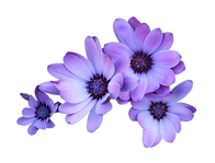 Daisy-Purple-Transparent-Background-PNG.