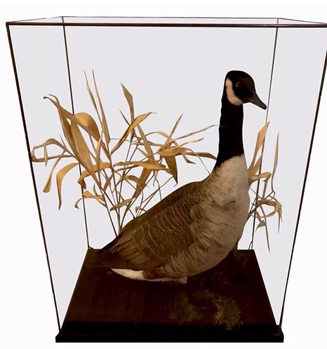 Taxidermy Canadian Goose In Very Large Leaded Glass Case Branta Canadensis