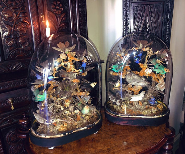 Cases pair of Victorian taxidermy birds upon ebonised bases