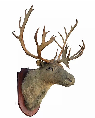 Very Large Taxidermy Caribou Reindeer Head and Antlers