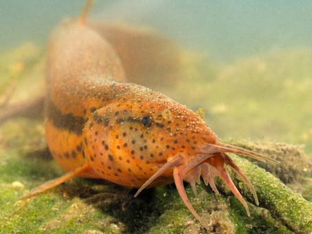 Bijna uitgestorven vis teruggevonden in de Demerdelta