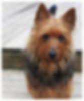 Female Australian Terriers | Temora Australian Terriers | Family Pets | Breeding | Breeders | Muskego | WI | Long Grove | IL | Bitzy