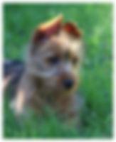 Female Australian Terriers | Temora Australian Terriers | Family Pets | Breeding | Breeders | Muskego | WI | Long Grove | IL | Syrah