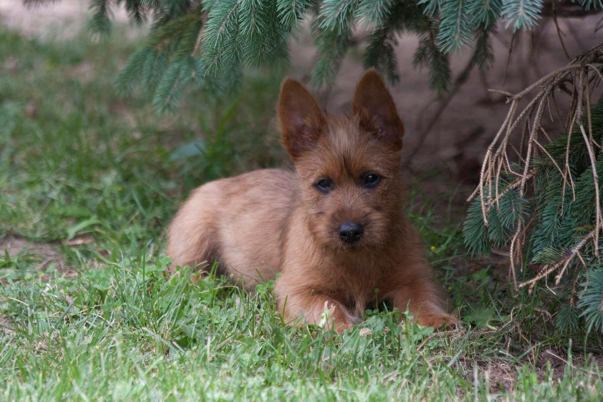Temora Australian Terriers