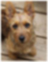 Female Australian Terriers | Temora Australian Terriers | Family Pets | Breeding | Breeders | Muskego | WI | Long Grove | IL | Siri