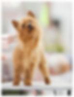 Female Australian Terriers | Temora Australian Terriers | Family Pets | Breeding | Breeders | Muskego | WI | Long Grove | IL | Monee