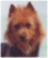 Male Australian Terriers | Bully | Temora Australian Terriers | Family Pets | Breeding | Breeders | Muskego | WI | Long Grove | IL