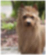 Male Australian Terriers | Water | Temora Australian Terriers | Family Pets | Breeding | Breeders | Muskego | WI | Long Grove | IL