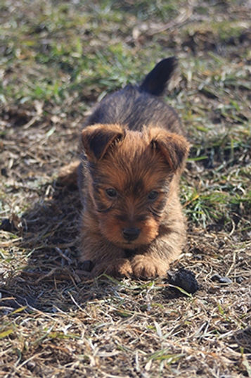 About | Temora Kennels | Breeding Program | Puppies | Raised in Homes | Australian Terriers | Good Natured | AKC Breeder of Merit