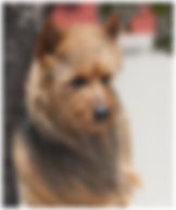Male Australian Terriers | Bacon | Temora Australian Terriers | Family Pets | Breeding | Breeders | Muskego | WI | Long Grove | IL