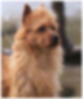 Male Australian Terriers | Mac | Temora Australian Terriers | Family Pets | Breeding | Breeders | Muskego | WI | Long Grove | IL