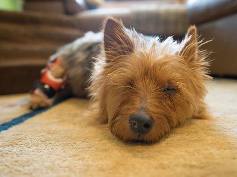australian-terrier.jpg