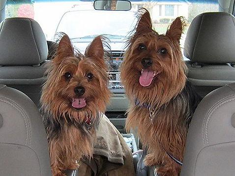 australian-terrier2.jpg