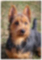 Female Australian Terriers | Temora Australian Terriers | Family Pets | Breeding | Breeders | Muskego | WI | Long Grove | IL | Audio