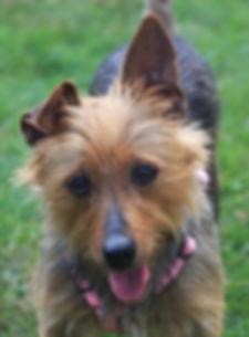 Temora Australian Terriers | Midwest Rescue Coordinator | Adopting | Australian Terrier | Rescue Dog | Non-Profit Animal Rescue | Suzie