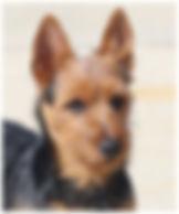 Male Australian Terriers | Temora Australian Terriers | Family Pets | Breeding | Breeders | Muskego | WI | Long Grove | IL
