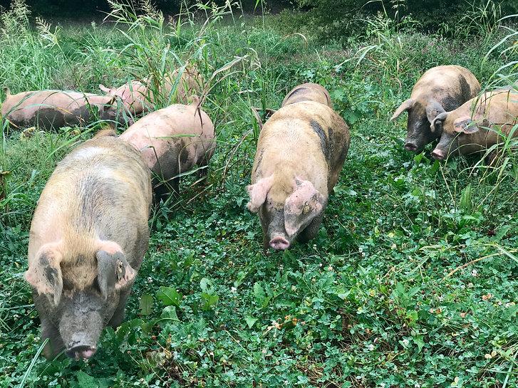 pigs in field.jpg