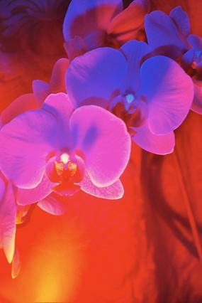 orchid5.krinakingsman.png