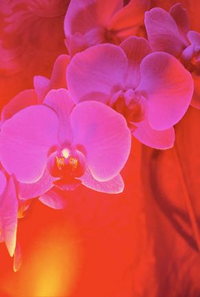 orchid4.krinakingsman.png