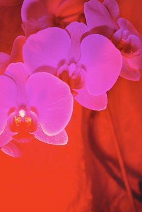 orchid7.krinakingsman.png