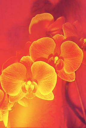 orchid1.krinakingsman.png